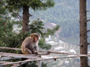 Apina havumetsässä