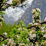 Hedelmäpuut kukkivat Sostissa