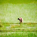 Riisin istuttaja