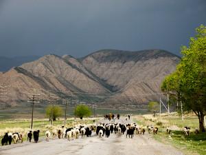 Paimenet ajavat lammaslaumaa karjamarkkinoille